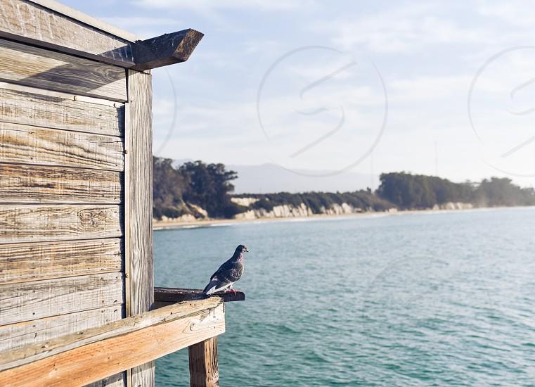 pigeon bird wings photo