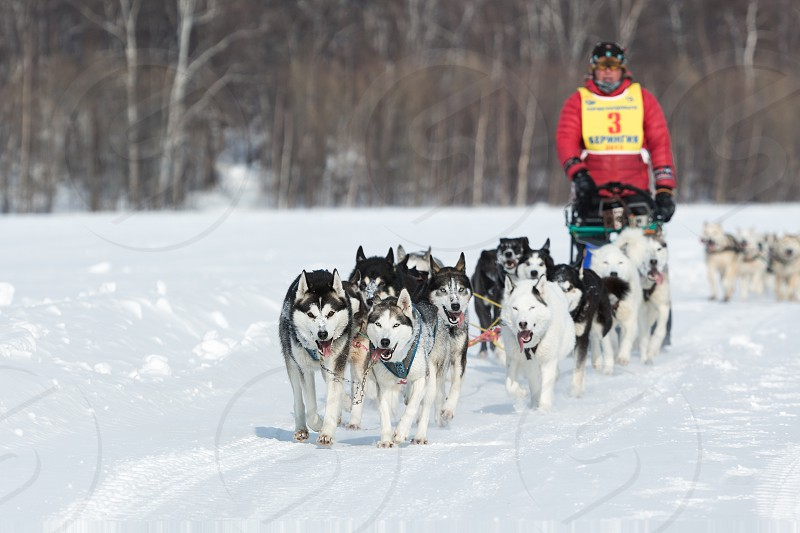 KAMCHATKA RUSSIA - MARCH 9 2013: Running dog sledge team Kamchatka musher Andrew Semashkin. Traditional Kamchatka extreme Sled Dog Racing Beringia. Russian Federation Far East Kamchatsky Krai. photo