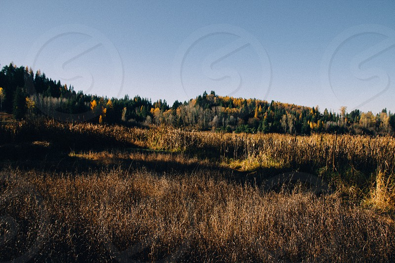Yellow Tamaracks near Priest River Idaho. This photo offers an glimpse of early November in the inland northwest.  photo