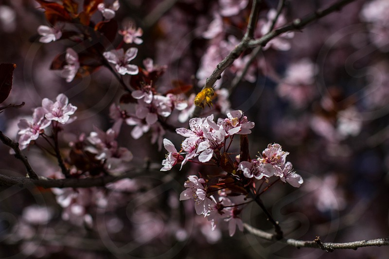 selective-focus photography of Cherry Blossom tree photo