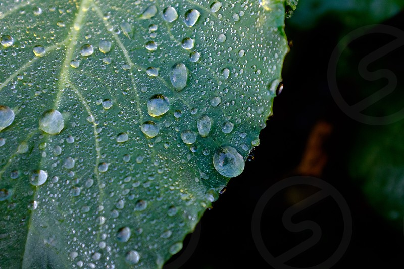 Dew droplet soaked green leaf close up photo