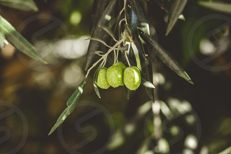 Ripe green olives on the tree. photo