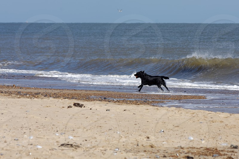 Black dog with a red ball running along the beach at Winterton-On-Sea in Norfolk photo