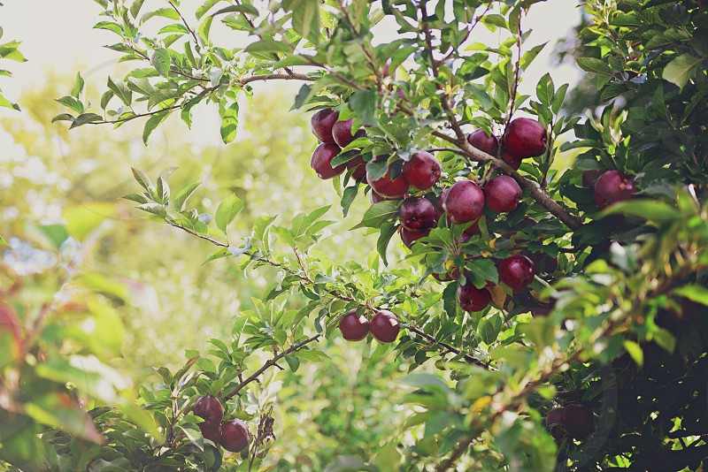 Apple tree apple tree photo