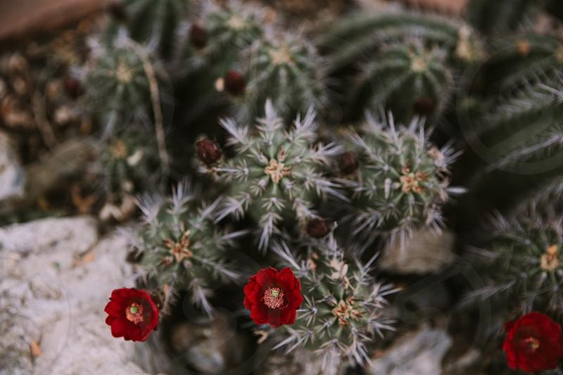 Cactus Blooms photo