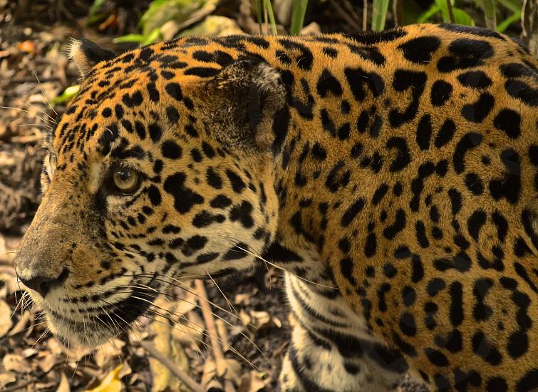 Jaguar fur pattern Belize photo