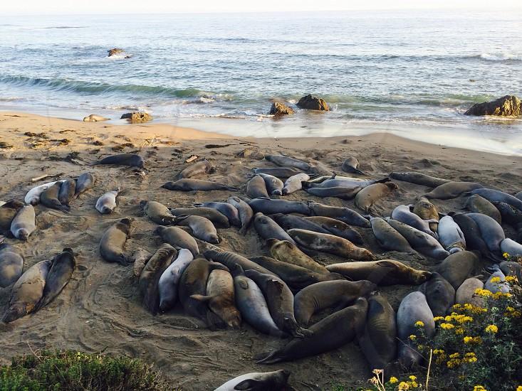 dead sea lions photo