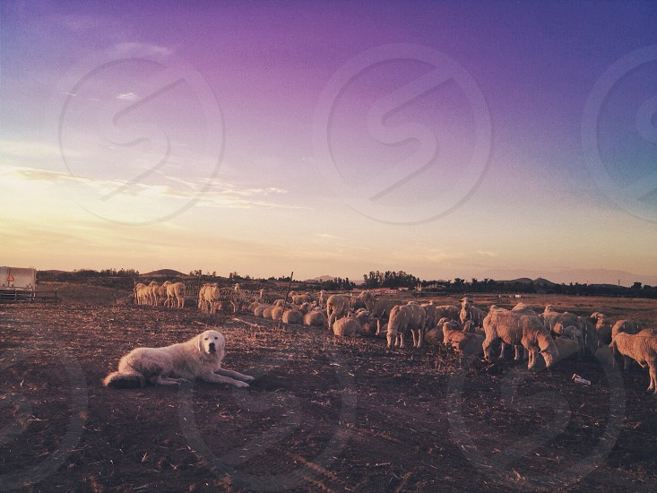 white kuvasz dog near herd of sheep photo