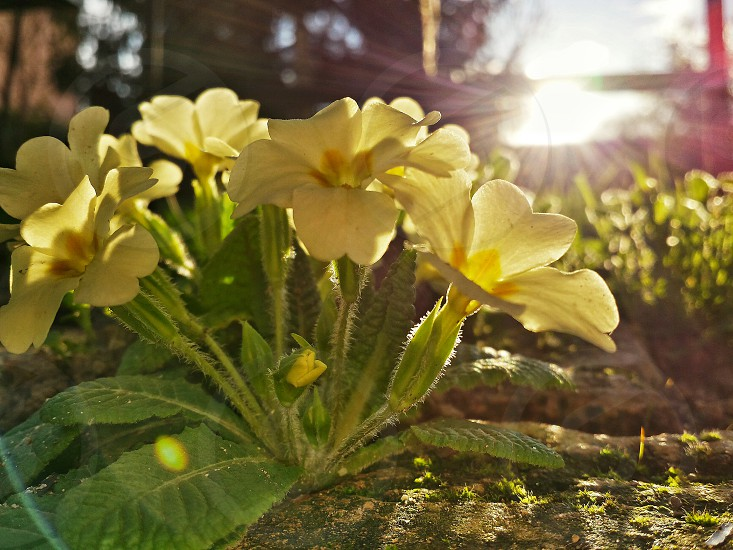 beautiful yellow primroses flowers colorful nature spring green grass leaves afternoon sunset sun brick photo
