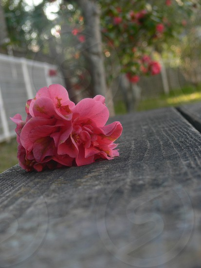 I tried to shoot the camellia. photo