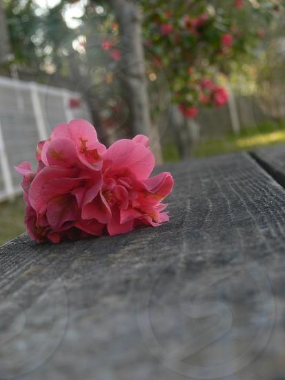 I tried to shoot the camellia. photo