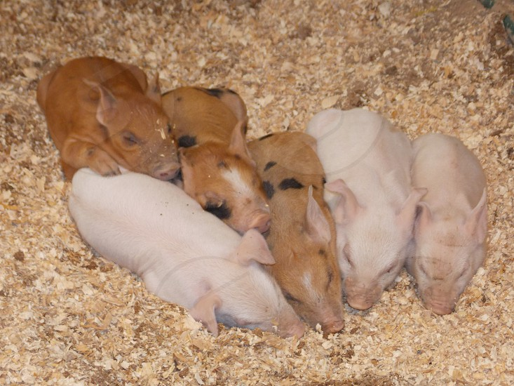 Piglets at the fair photo