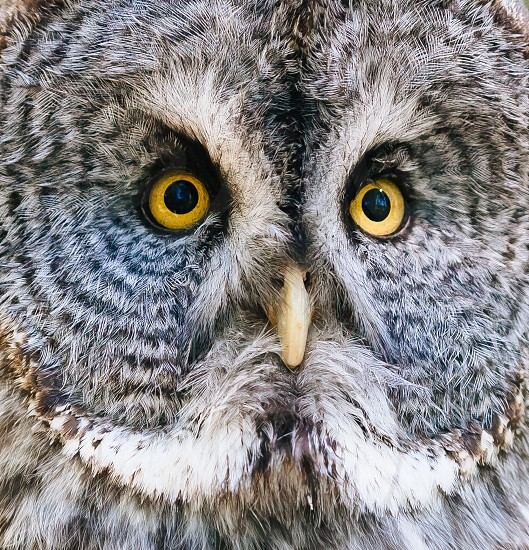 Great Gray owl  photo
