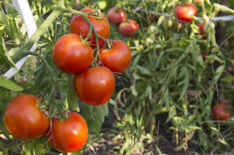Ripe tomatoes on the branches photo