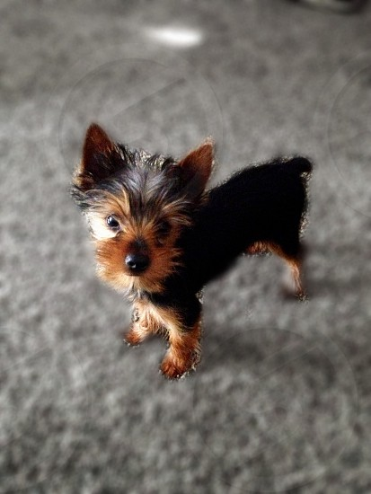 selective focus photography of black and tan Yorkshire terrier puppy standing on gray textile photo