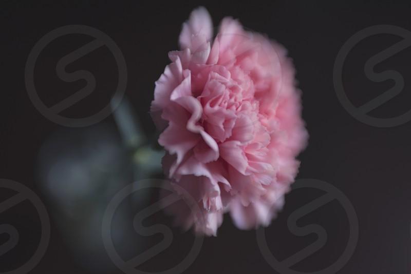 pink flower in vase photo