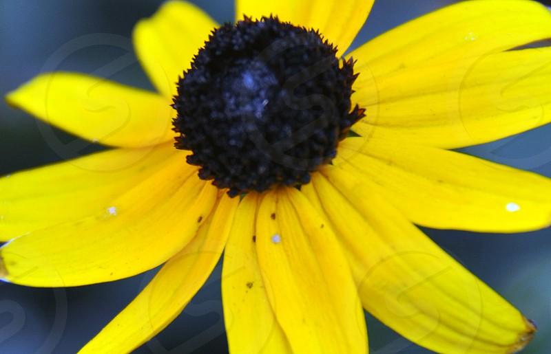 Black-eyed Susan  photo