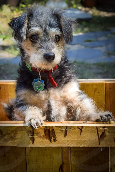 Small rescue puppy posing in a wooden pallet chest photo