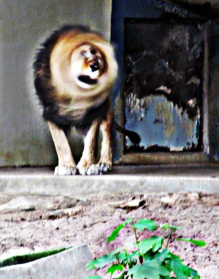 lion shaking his head photo