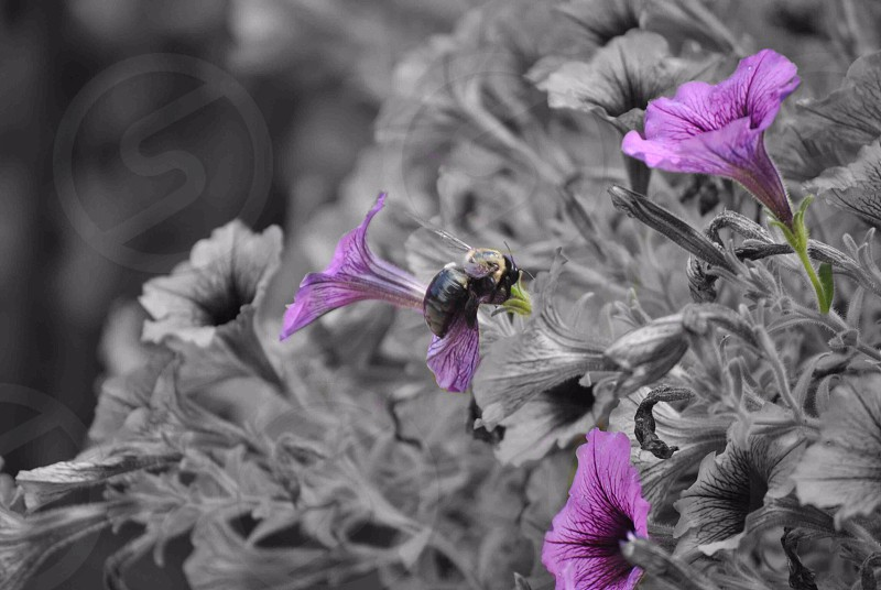 bumblebee perched on purple petaled flower selective photography photo