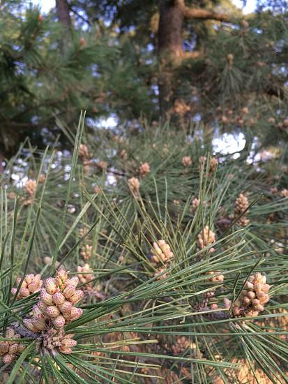 松葉(pine needles) photo