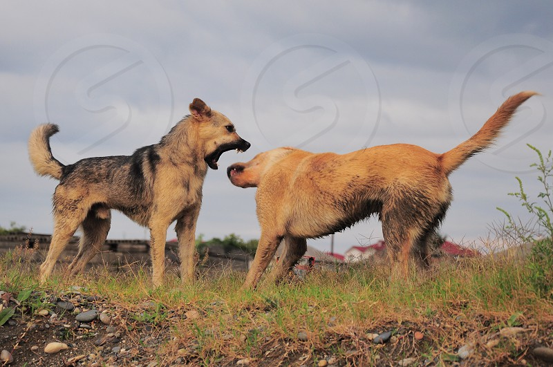 2 brown dogs fighting on grass field under cloudy sky photo