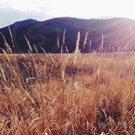 wheat farm field photography  photo