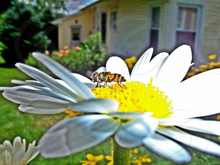 bee on daisy photo