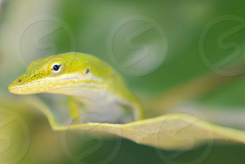 green lizzard photo
