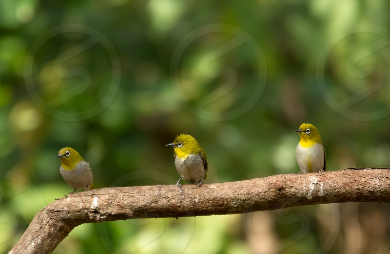 Oriental White Eye Birds Small birds Avifauna photo