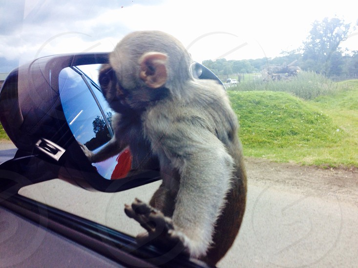 Safari park monkeys mirror photo
