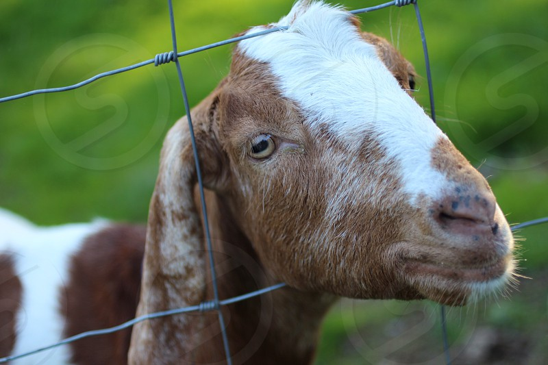 brown white goat  photo