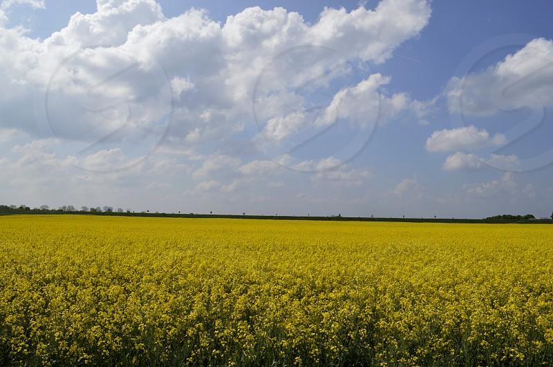 yellow field photo