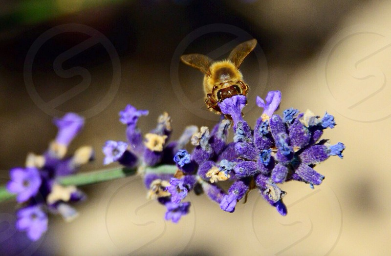 yellow bumble bee on top of purple flower photo