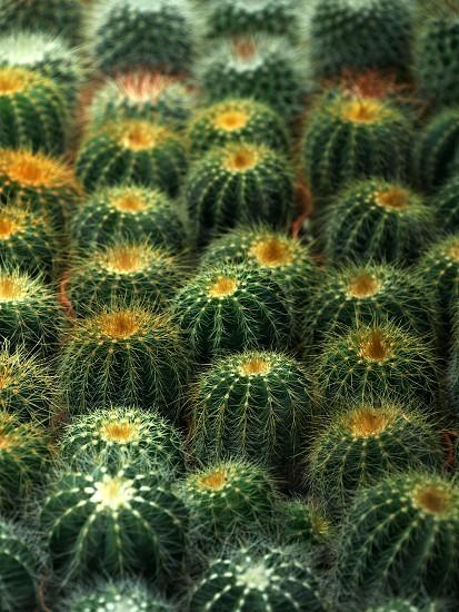 Large group of tiny cactus photo