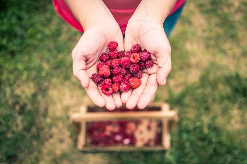 raspberries held in cupped human hands photo