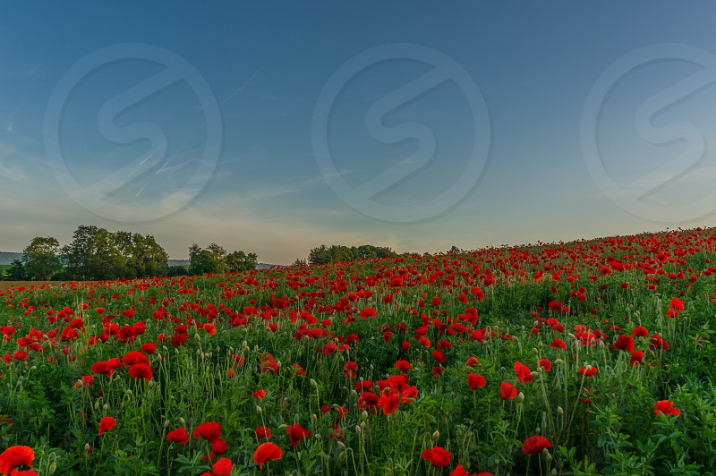 Poppies field hill flowers evening summer red soft lighting  photo