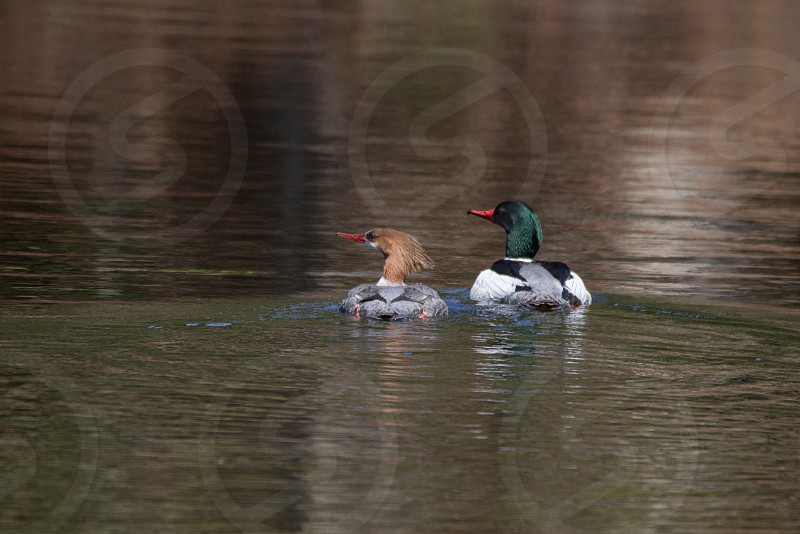 Common Merganser couple swimming through reflections on Peck Lake in Algonquin Park photo