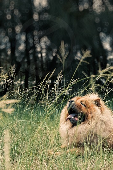 Happy dog lying in long grass with bokeh background. Red rough coat Chow Chow. Man's best friend. Animal photography. photo