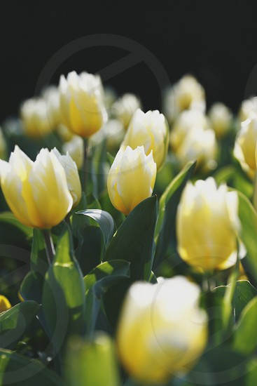 Flowers yellow tulips photo