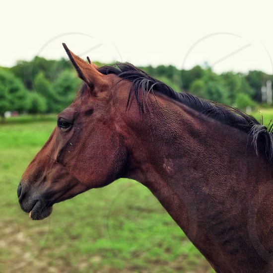 brown horse with black hair photo