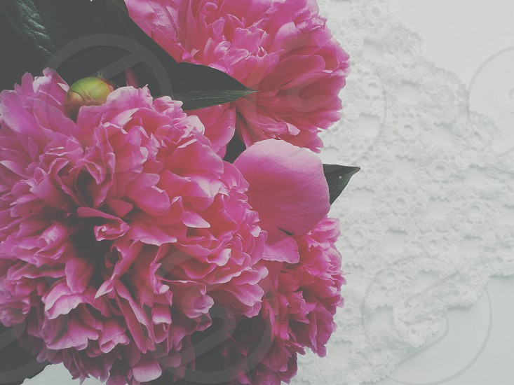 pink mums flowers during daytime photo
