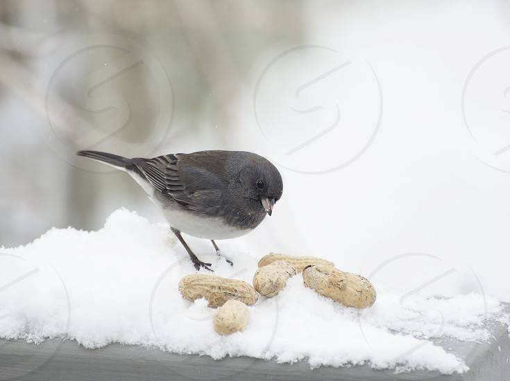 Junco bird in snow looking at pile of peanuts. photo
