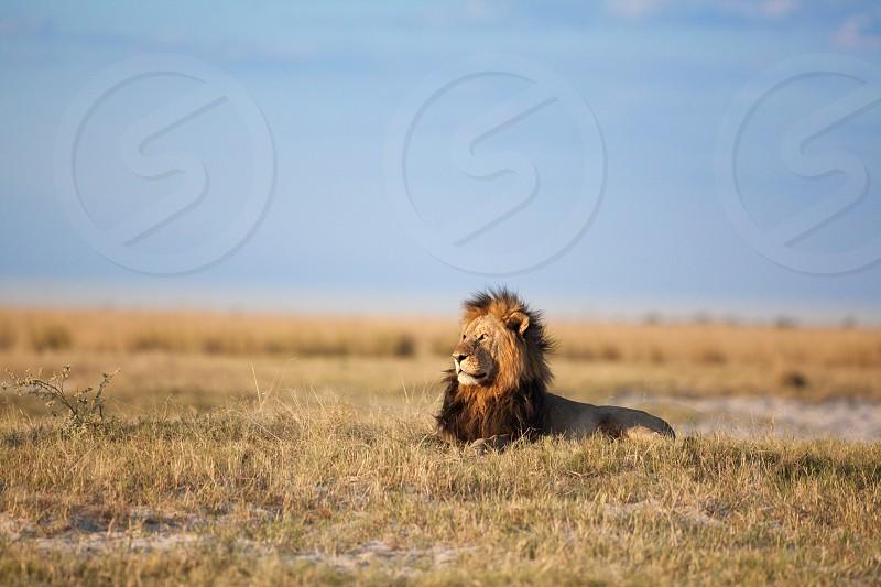 Lion in Chobe National Park Botswana. photo