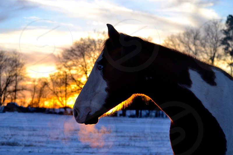 Misty standing in the snow as the sun sets  photo