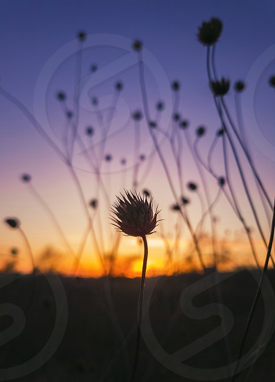 Close up autumn steppe nature dry thorn thistle of Field scabious flowers shrub (Knautia arvensis) against sunset background with golden and purple colors. Tiny wildflowers still life vertical shot. photo
