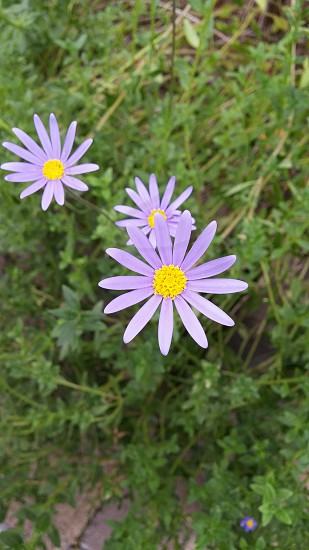 ブルーデイジー 花 #flower #Blue Daisy photo