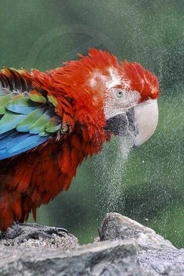 scarlet macaw Ara macao chipping beak rock photo