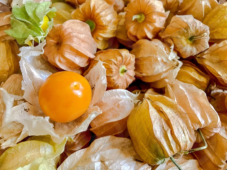 cape gooseberry berry fruit yellow physalis Peru sour sweet juice plant lantern cherry calyx seed orange garnish petal goldenberry Pichuberry healthy vitamin diet edibles nutrition delicious tasty yummy flavor photo
