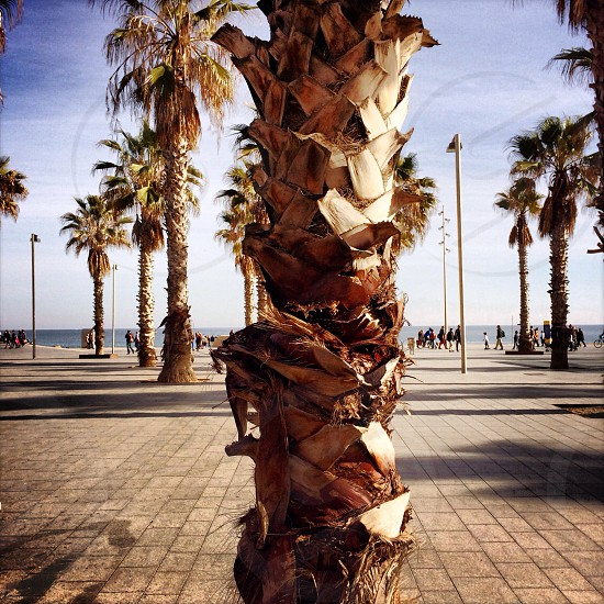 A palm tree in the Barceloneta boardwalk in Barcelona Spain. photo